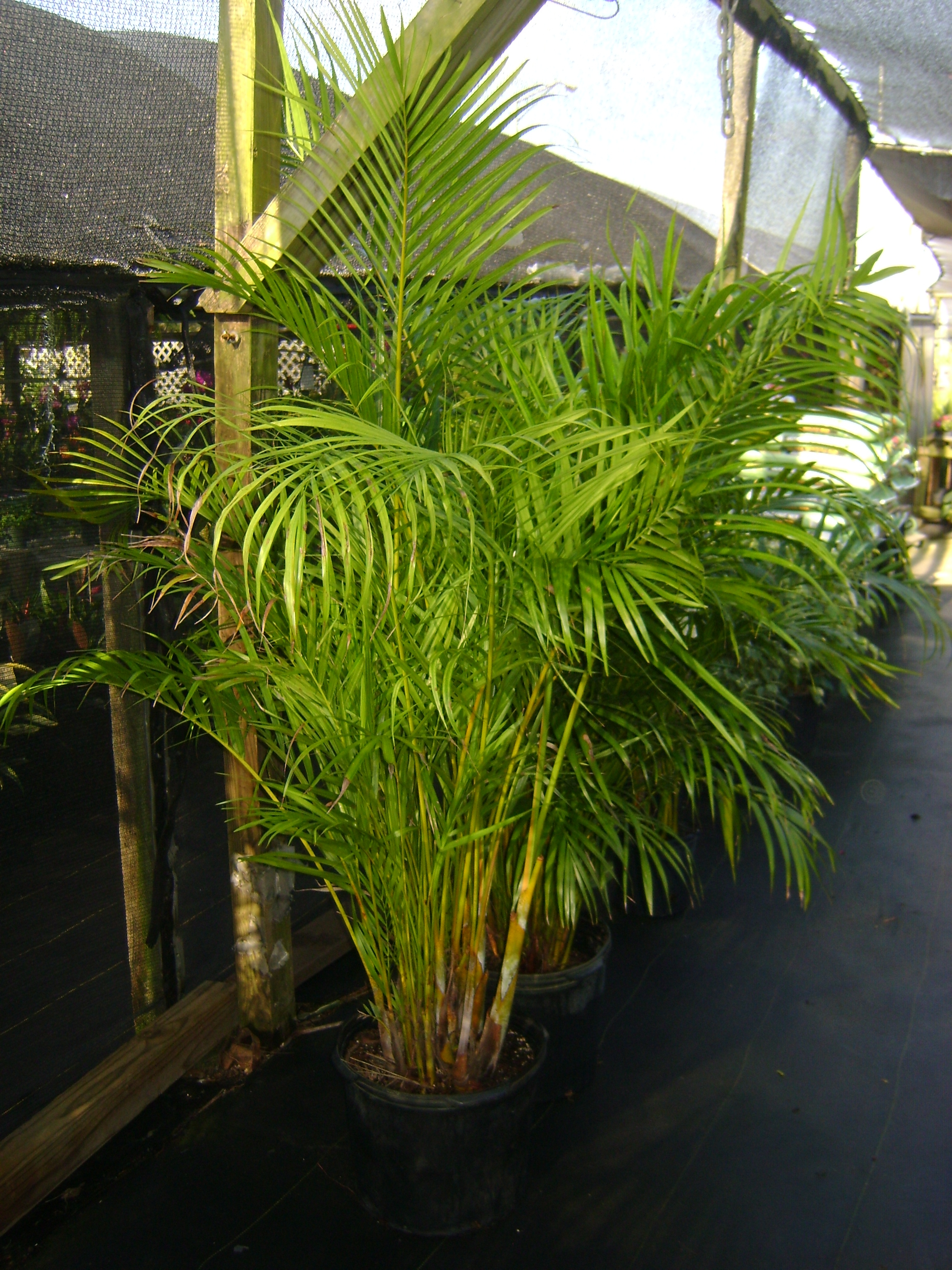 Areca Palm Trees For In