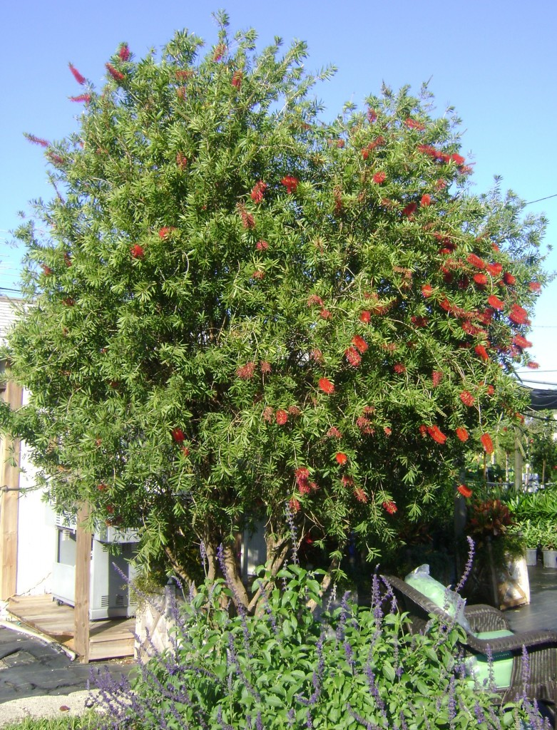 Bottlebrush Tree in Bloom