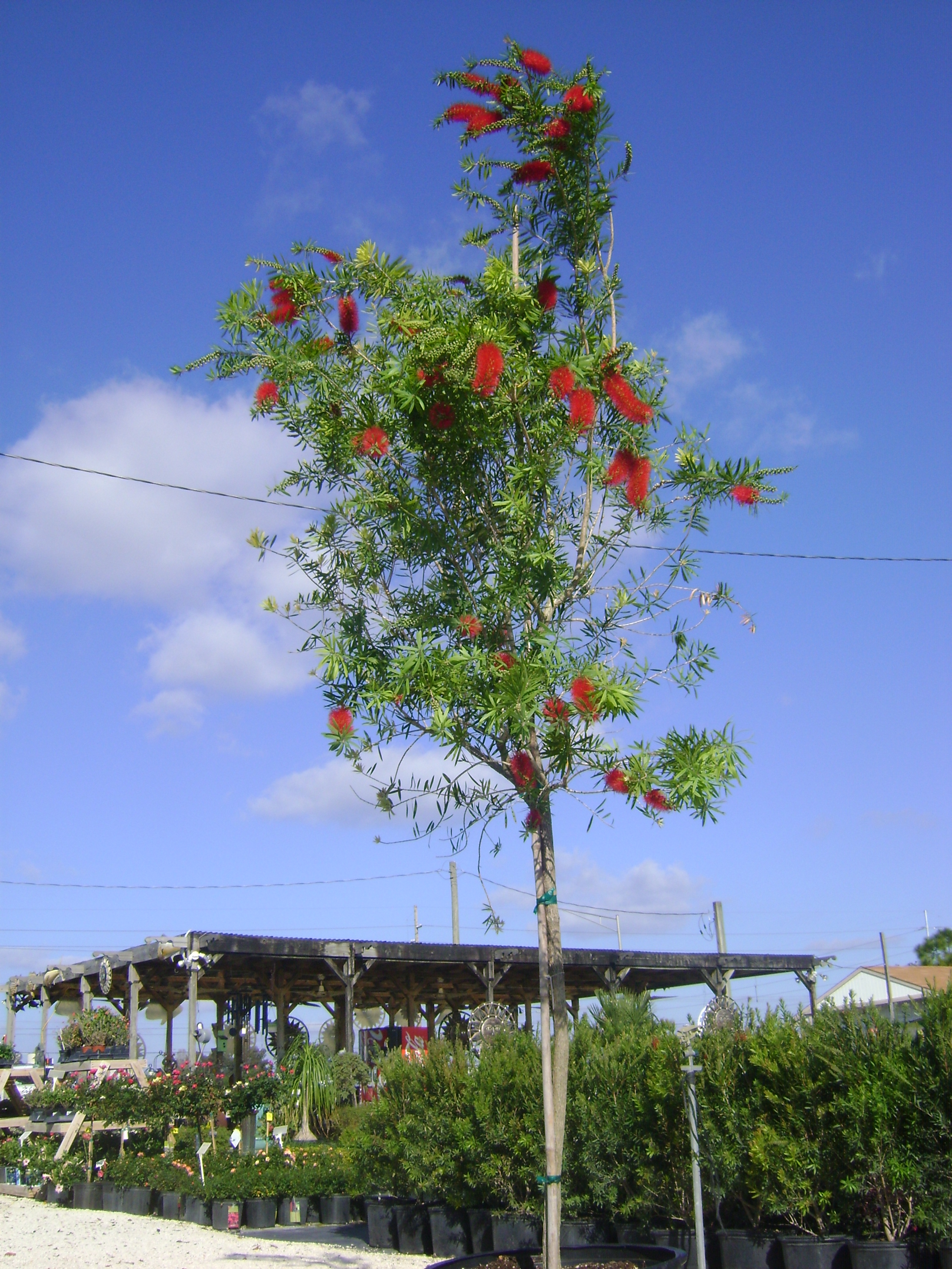 Buy Bottlebrush For Sale In Orlando Kissimmee