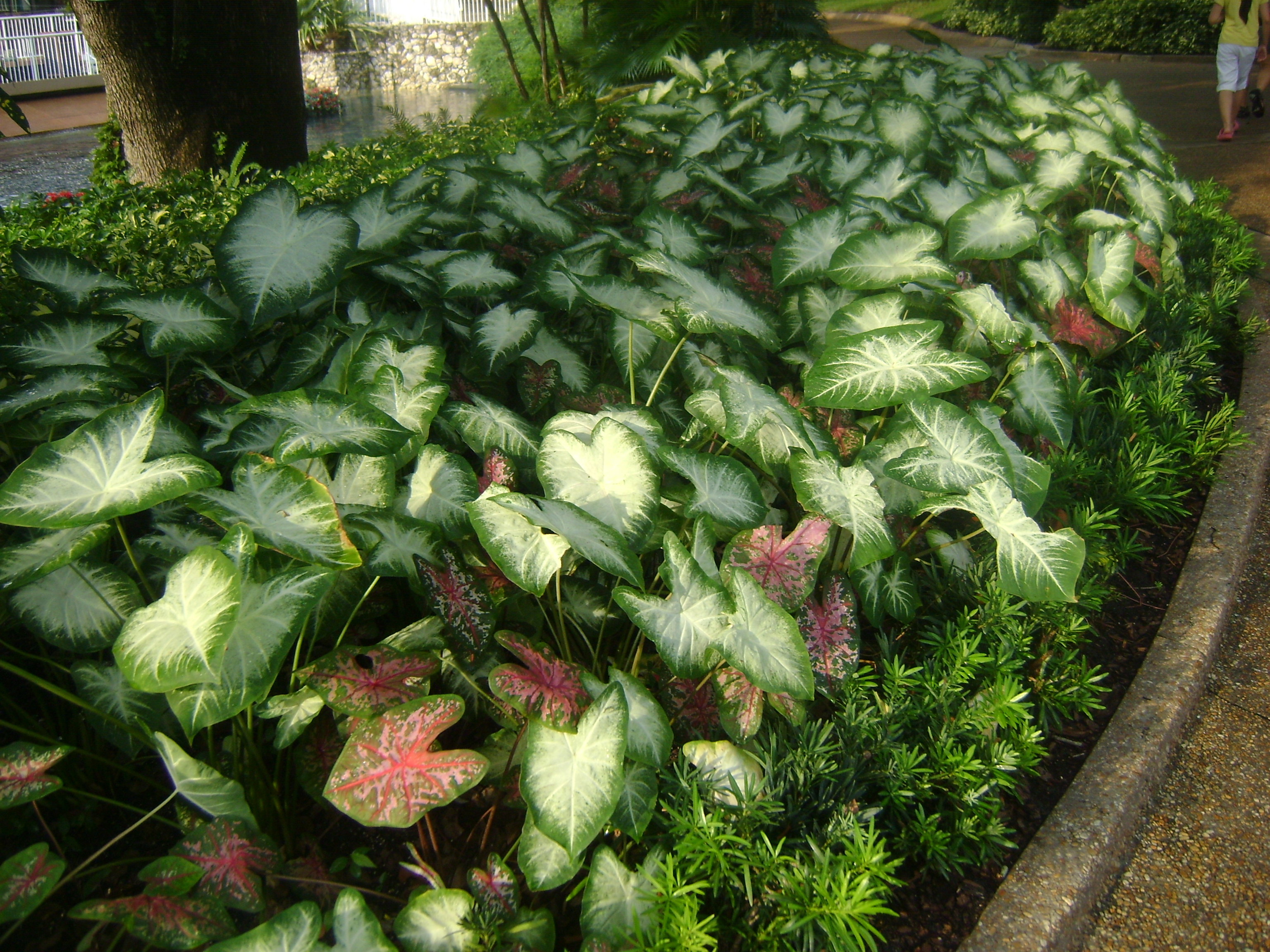 Buy Caladium In Orlando Florida Lake Mary Kissimmee