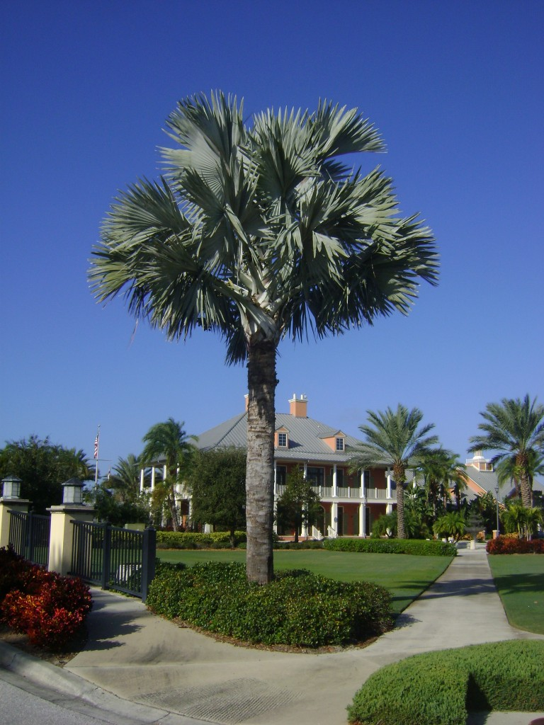 Buy Bismark Palm Trees For Sale In Orlando Kissimmee