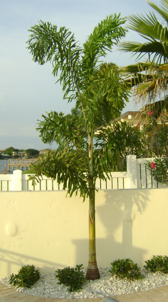 Foxtal Palm Tree