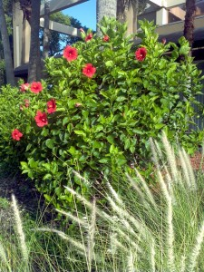 Green Fountain Grass and Hibiscus