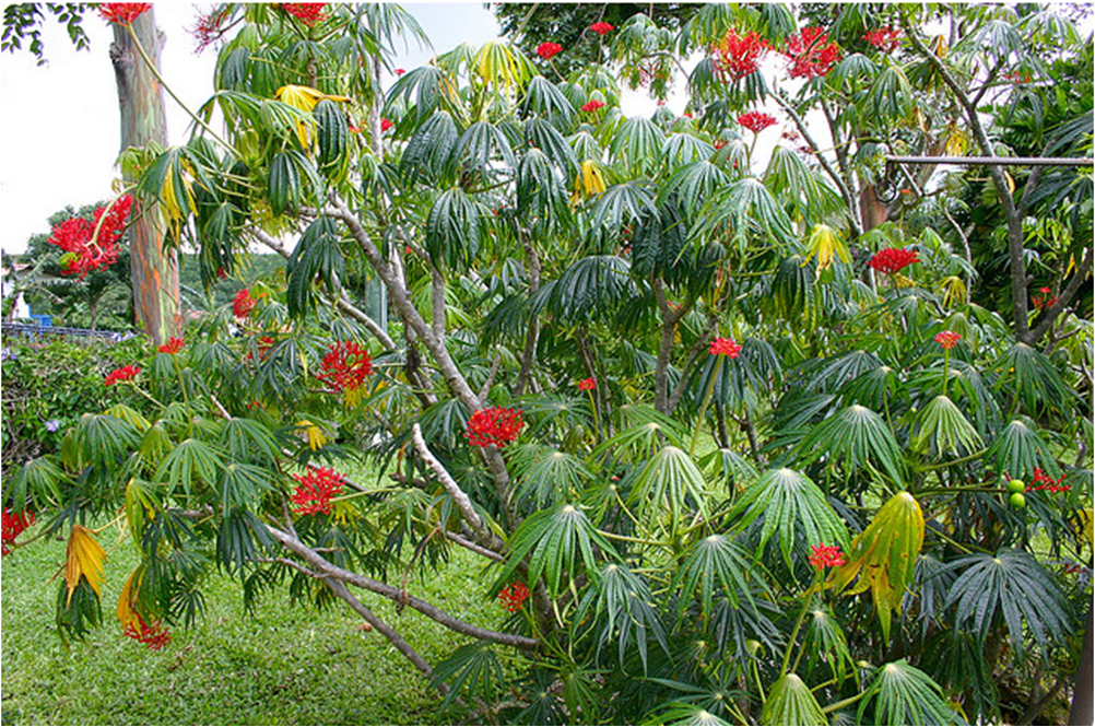 Buy Jatropha Trees For Sale In Orlando Kissimmee