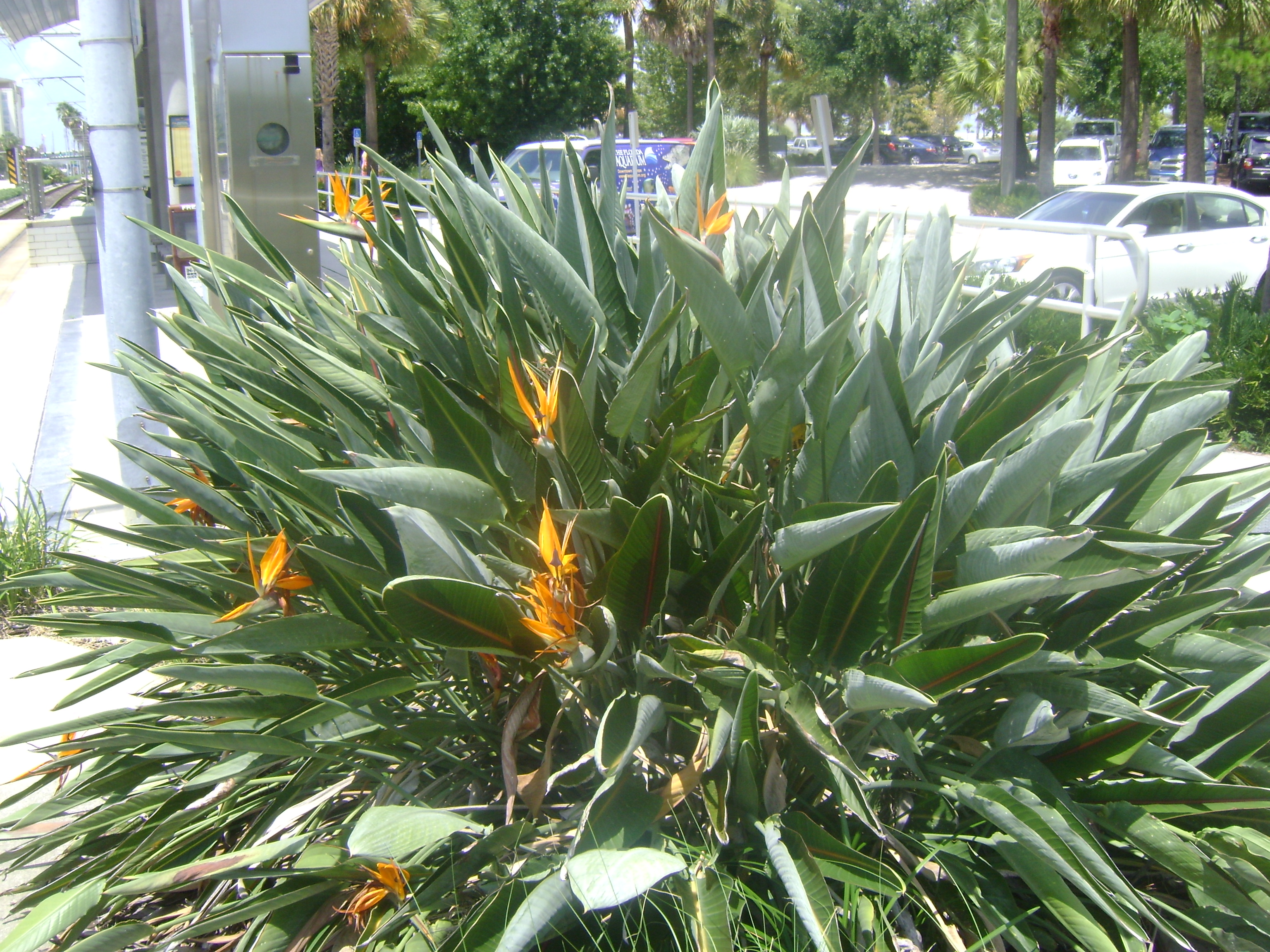 Bird Of Paradise Orlando Plants And Trees