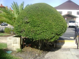 Buy Ligustrum For Sale In Orlando Kissimmee Sanford