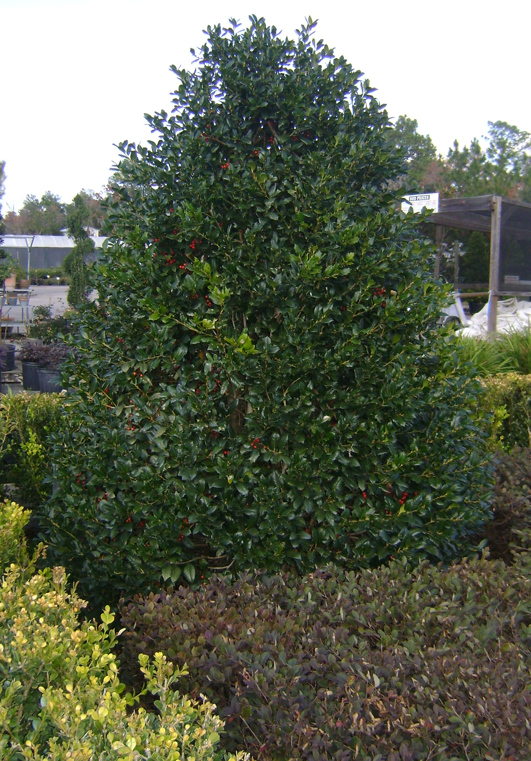 Buy Nellie Stevens Holly Trees For Sale In Orlando Kissimmee