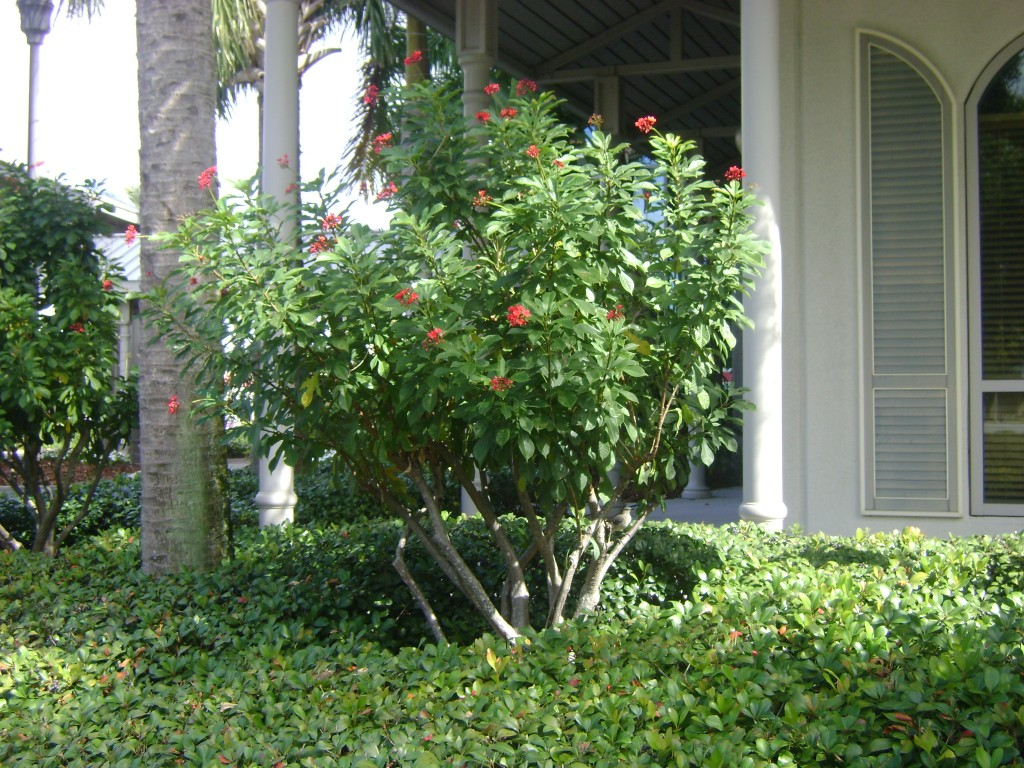Mature Jatropha