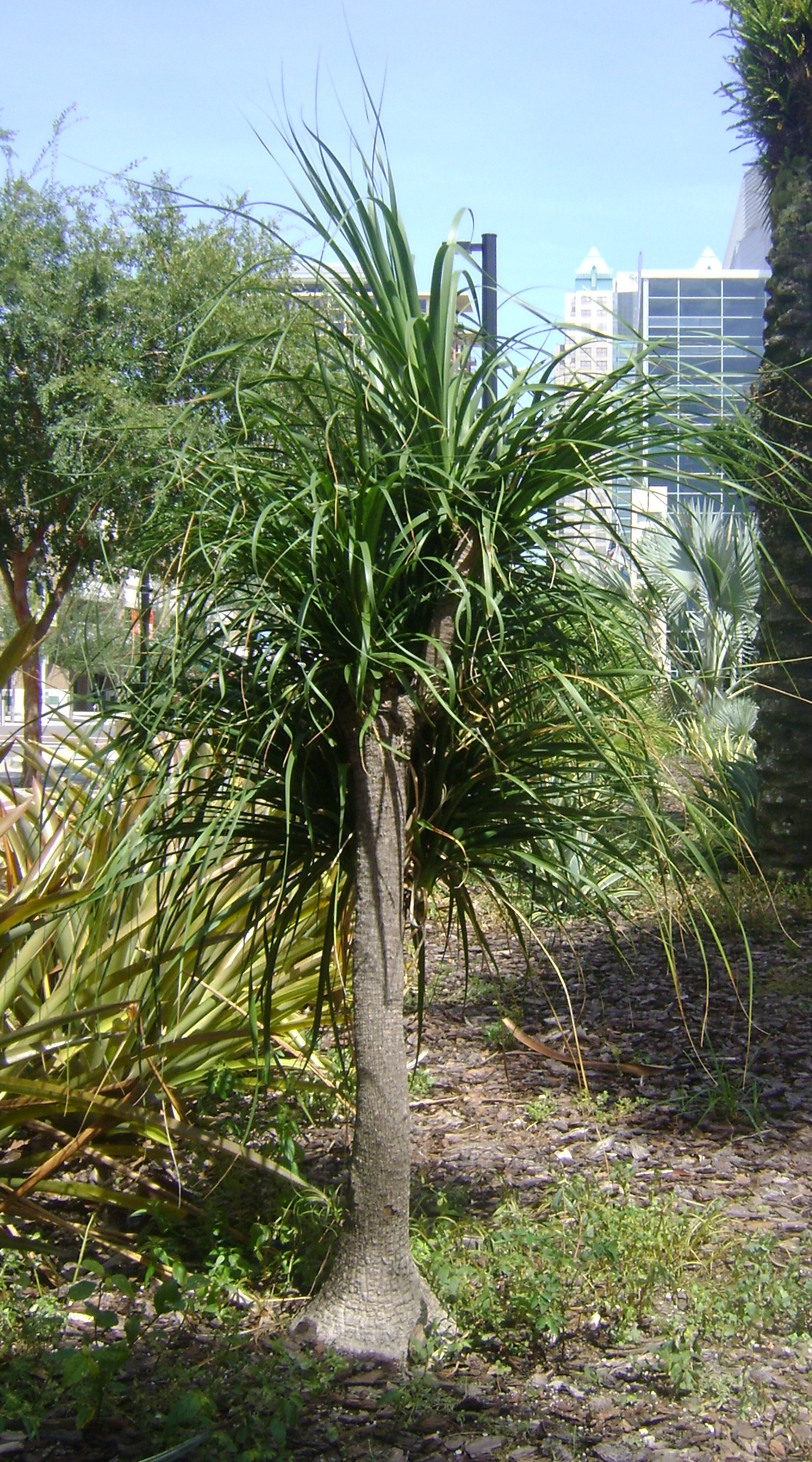 Buy Ponytail Palm Tree, For Sale in Orlando, Sanford, Kissimmee