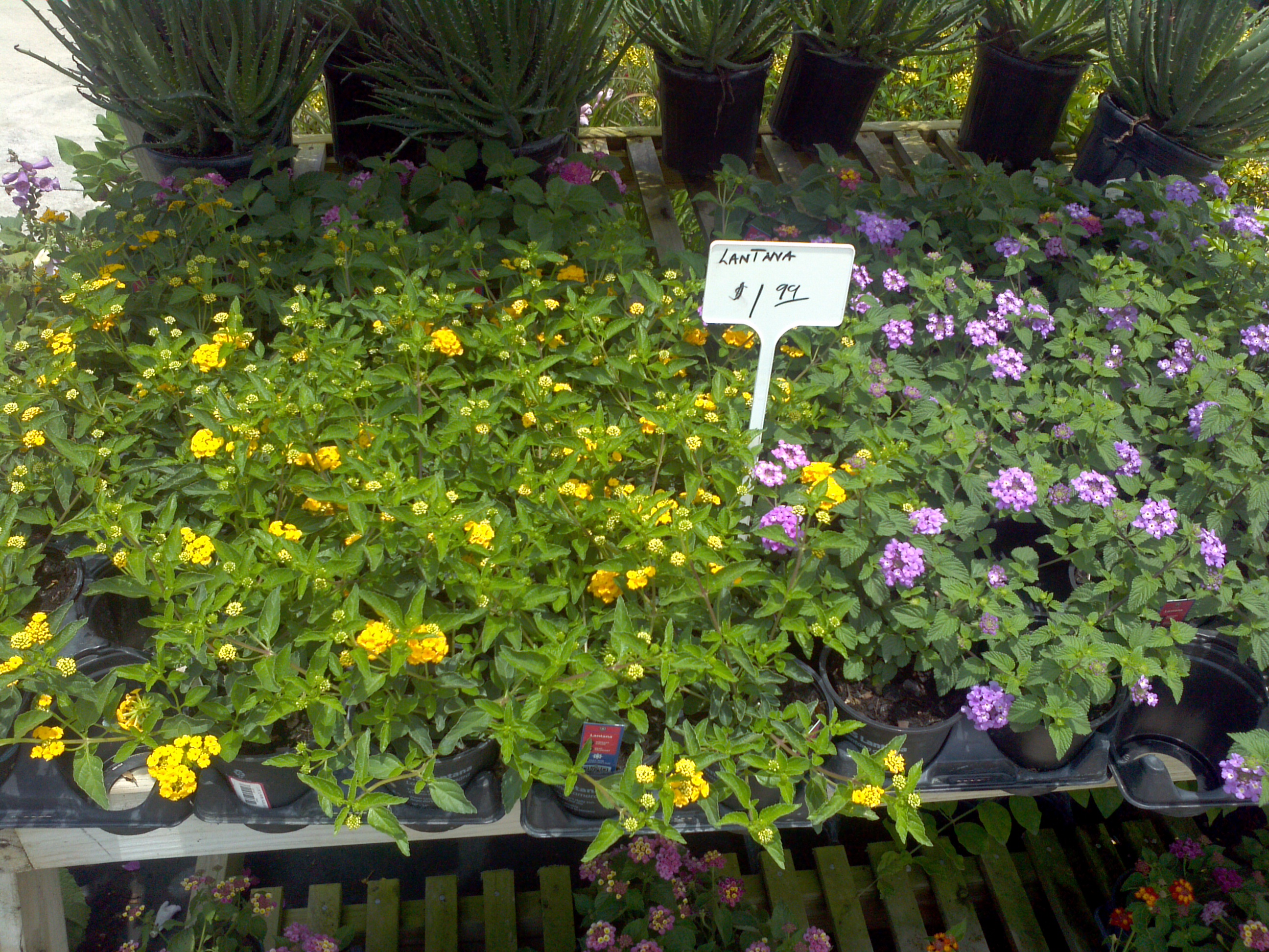 Purple And Yellow Lantana Orlando Plants And Trees