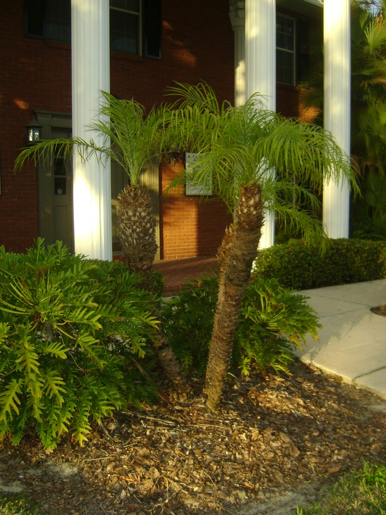 Buy Robellini Pygmy Date Palm Trees For Sale In Orlando