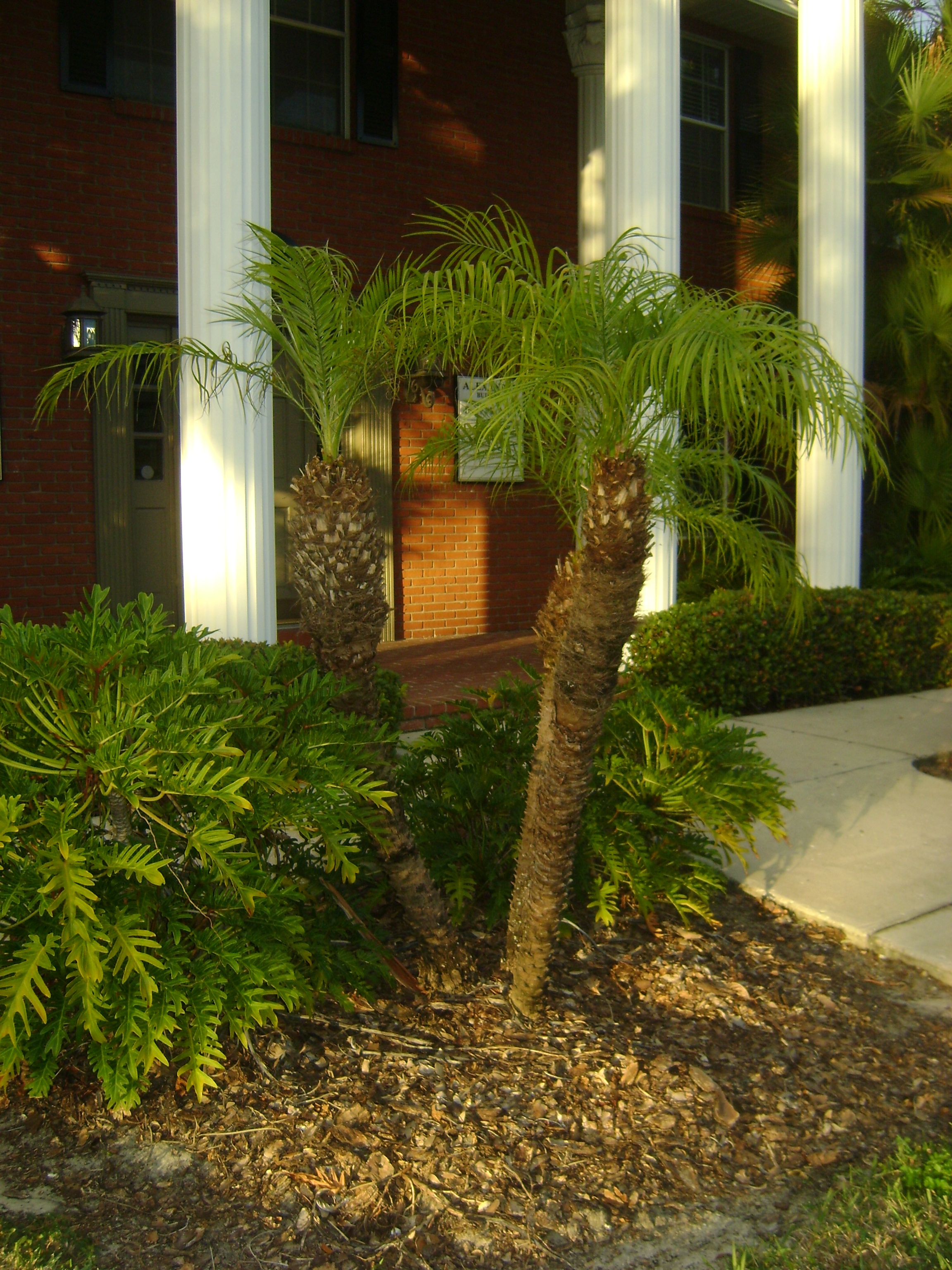 robellini pygmy date palm trees for sale in orlando kissimmee