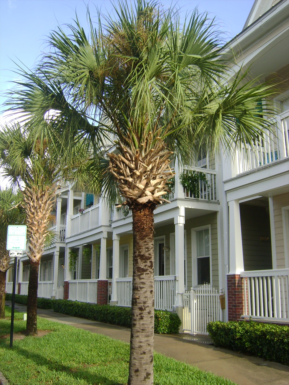Texas Sabal Palm Tree