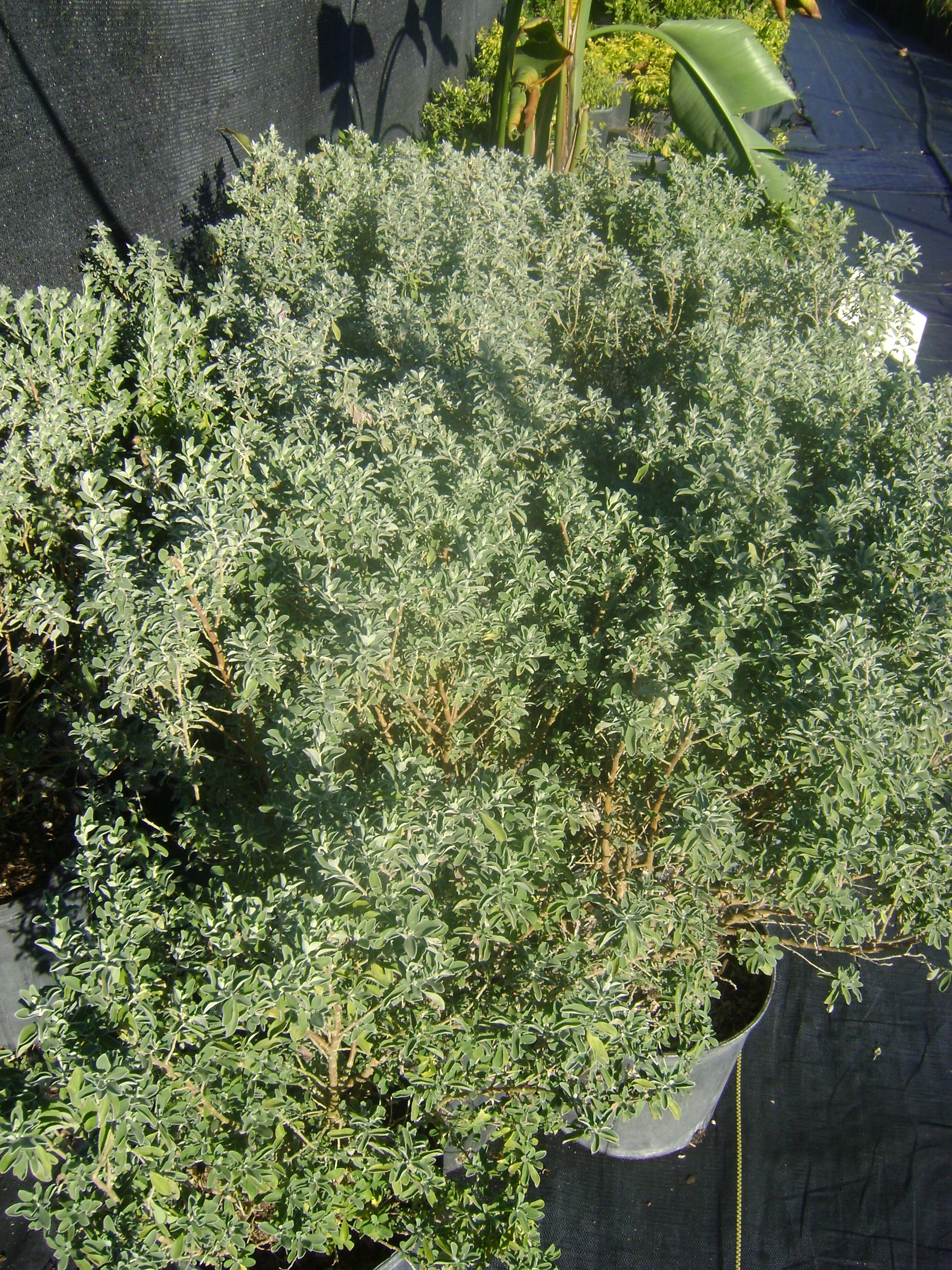 Buy Texas Sage in Orla...