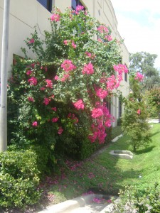 Bougainvillea on a wall