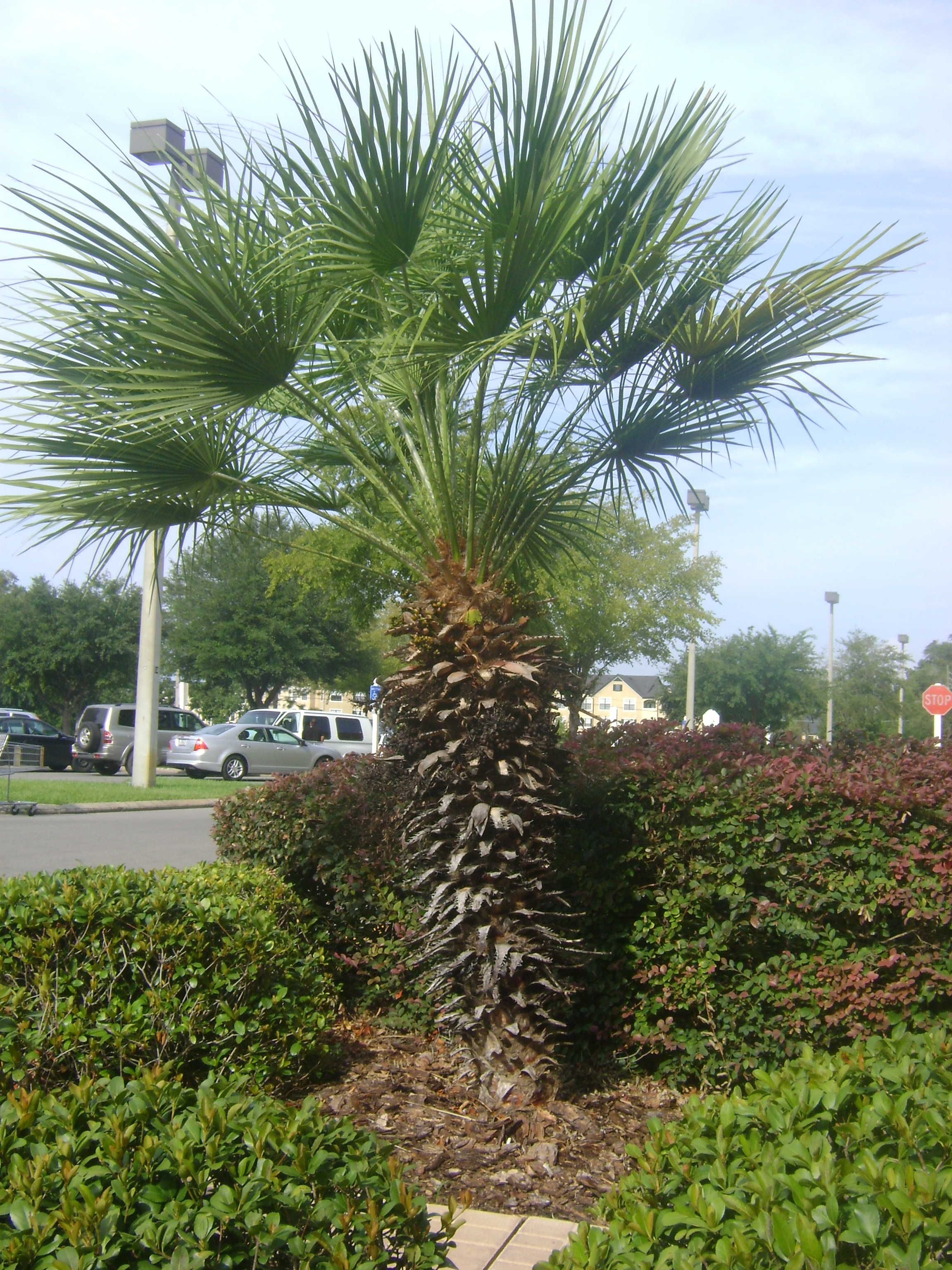 Garden Centre: Buy European Fan Palm Trees, For Sale In Orlando, Kissimmee