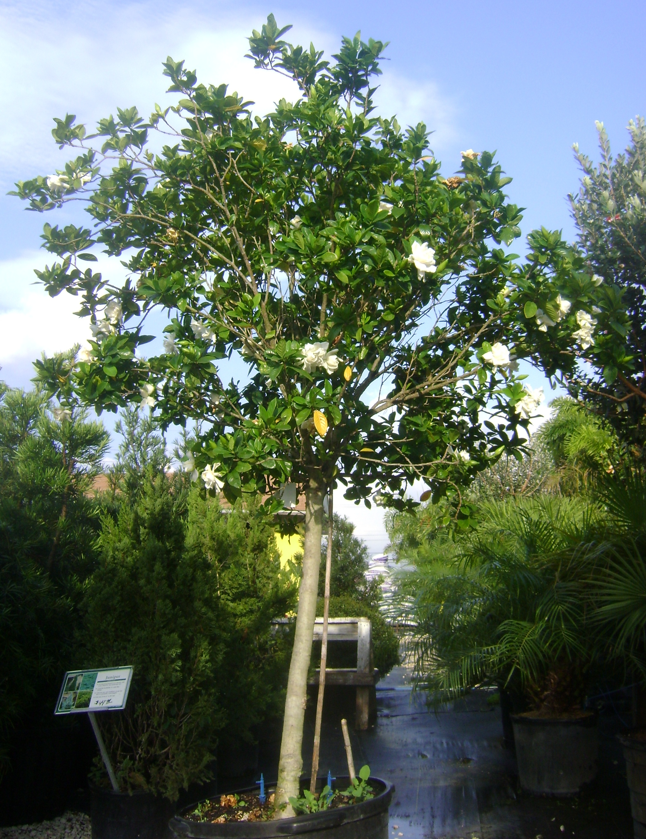 Gardenia tree mature height