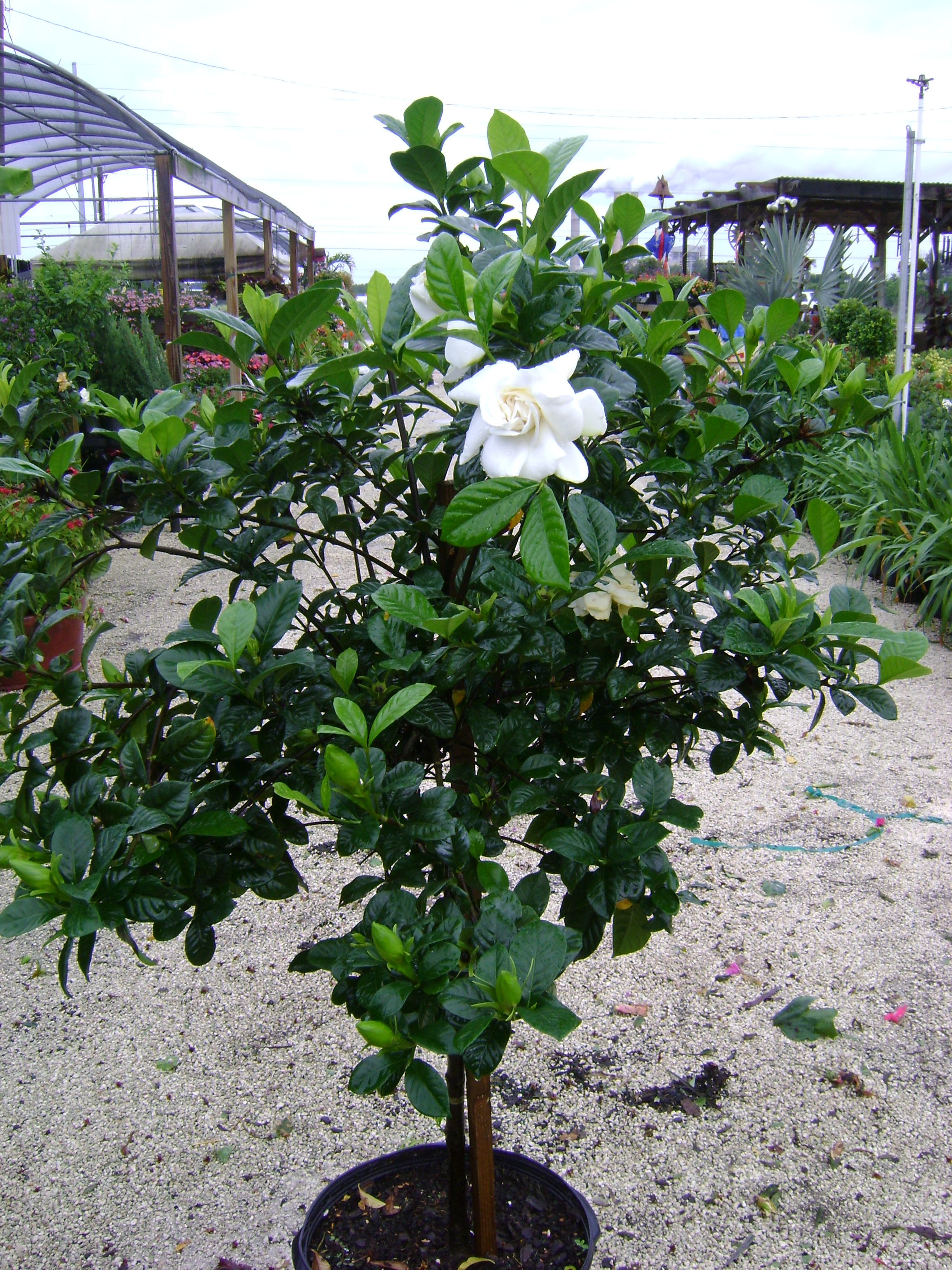 How to plant a gardenia - Grafted Gardenia
