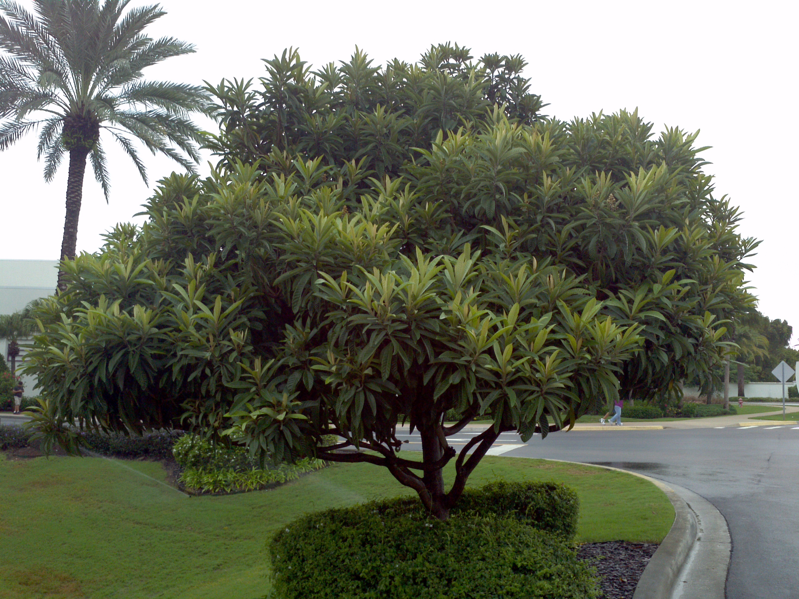 Loquat Orlando Plants And Trees