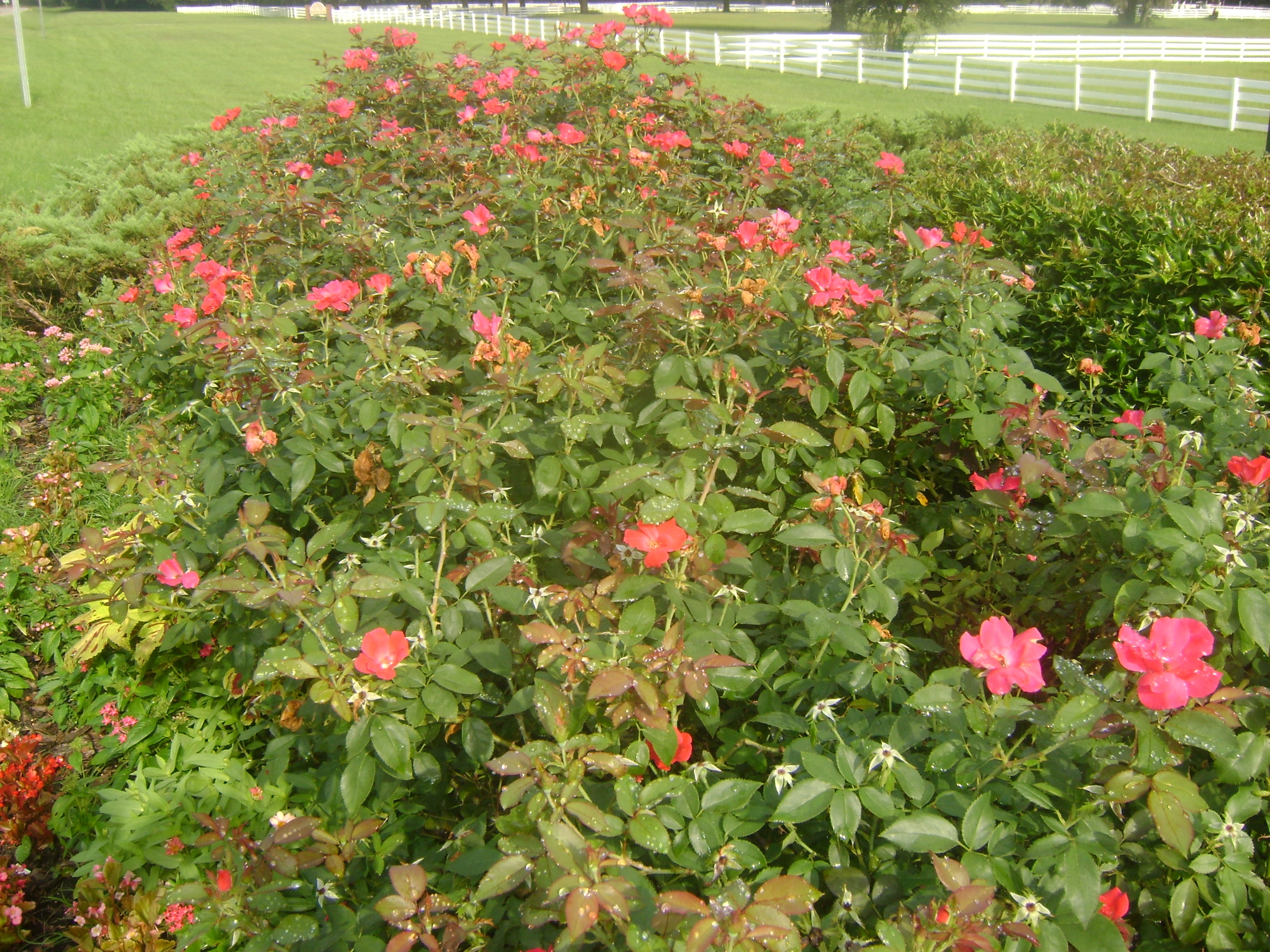 Buy Knockout Roses In Orlando Florida Lake Mary