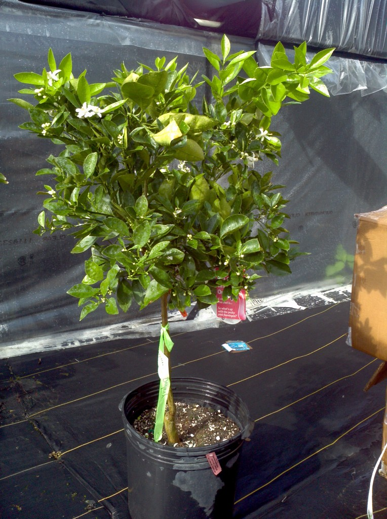 Navel Orange tree at the nursery