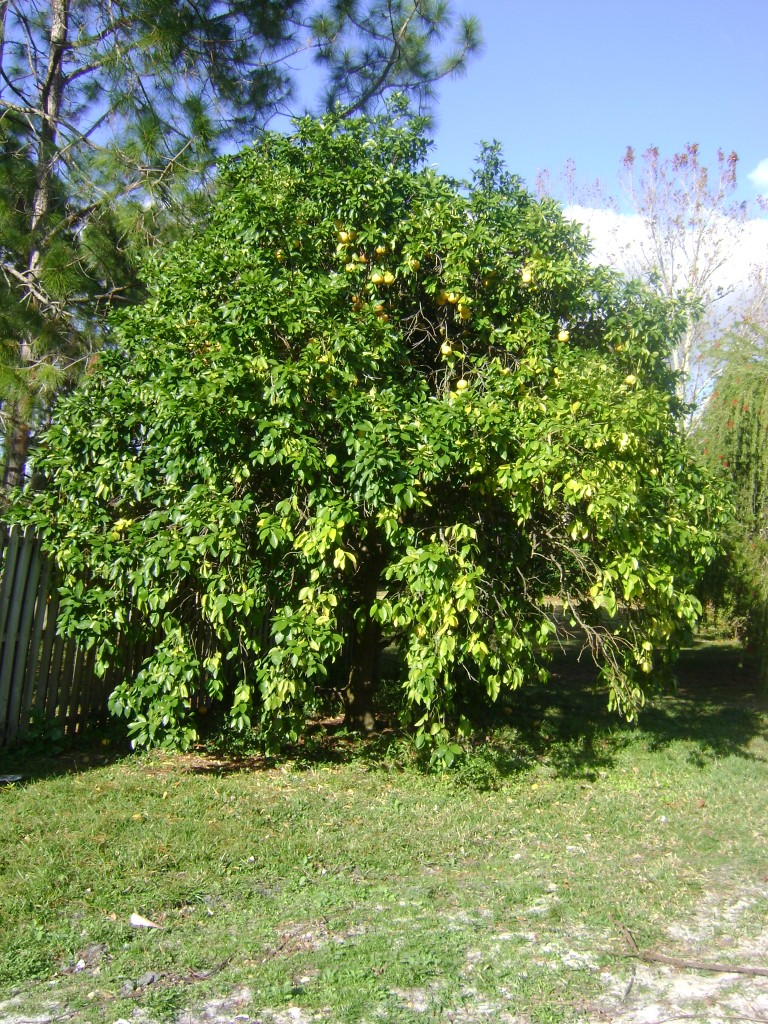 Buy Ruby Red Grapefruit Trees For Sale In Orlando Kissimmee