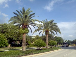 Sylvester Palm Trees