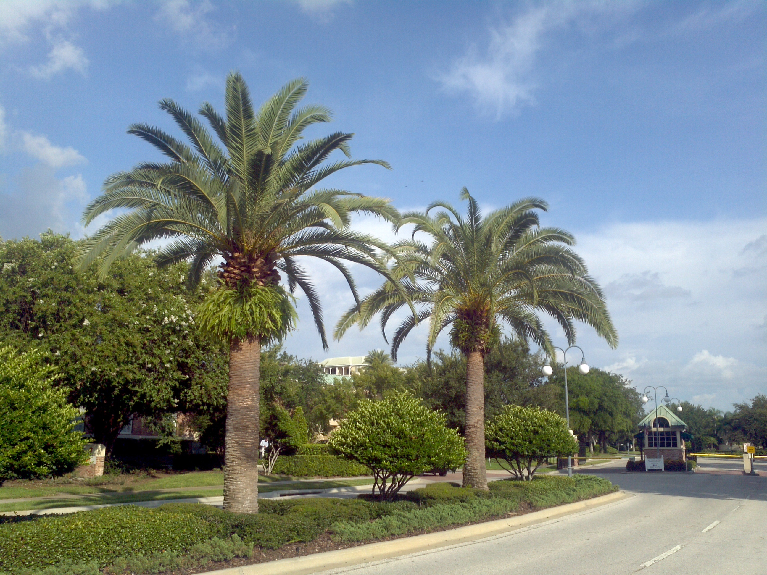 Sylvester Palm Trees - Enlarge
