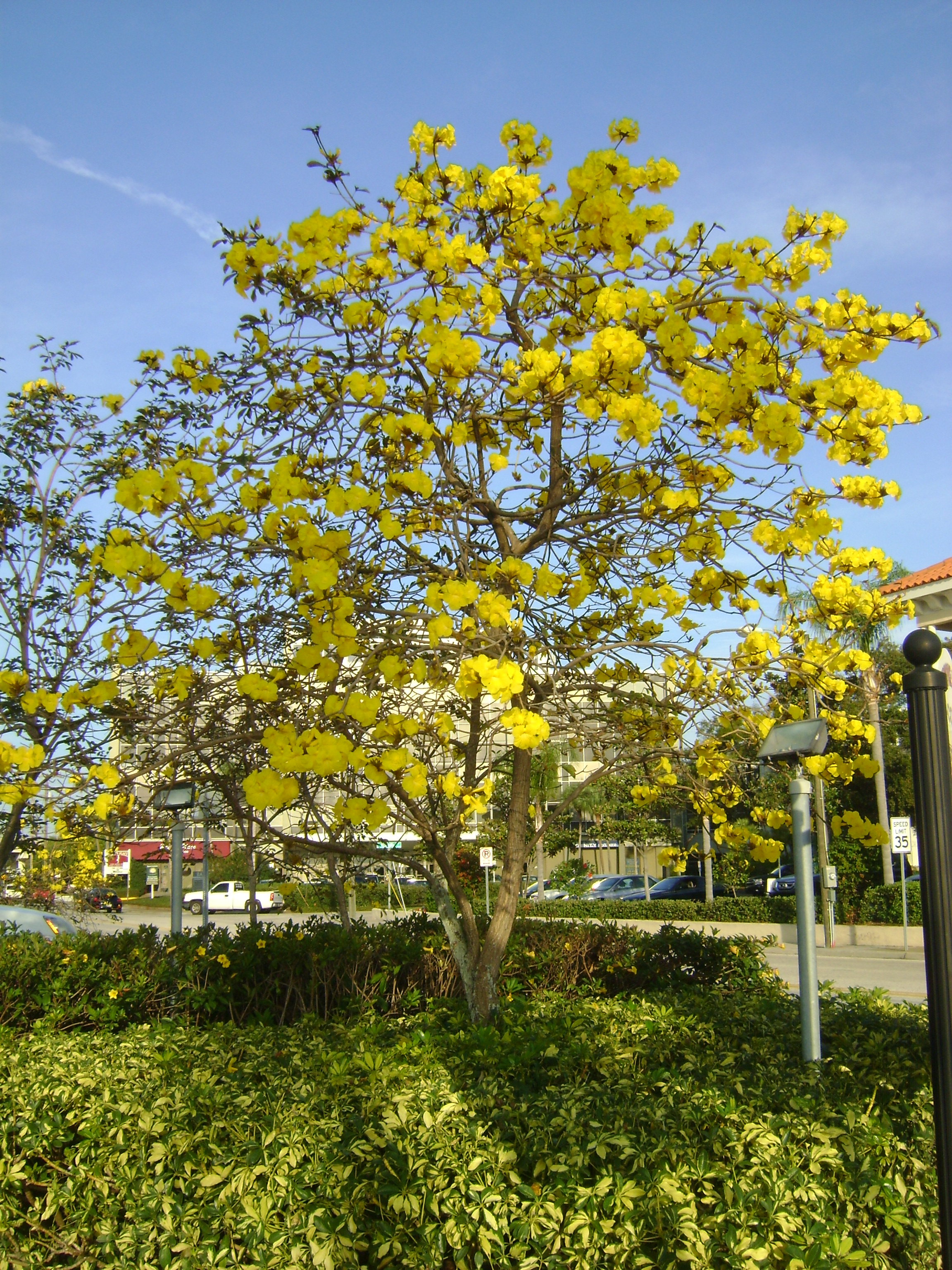 Buy tabebuia flowering trees for sale in orlando kissimmee yellow tabebuia mightylinksfo Image collections