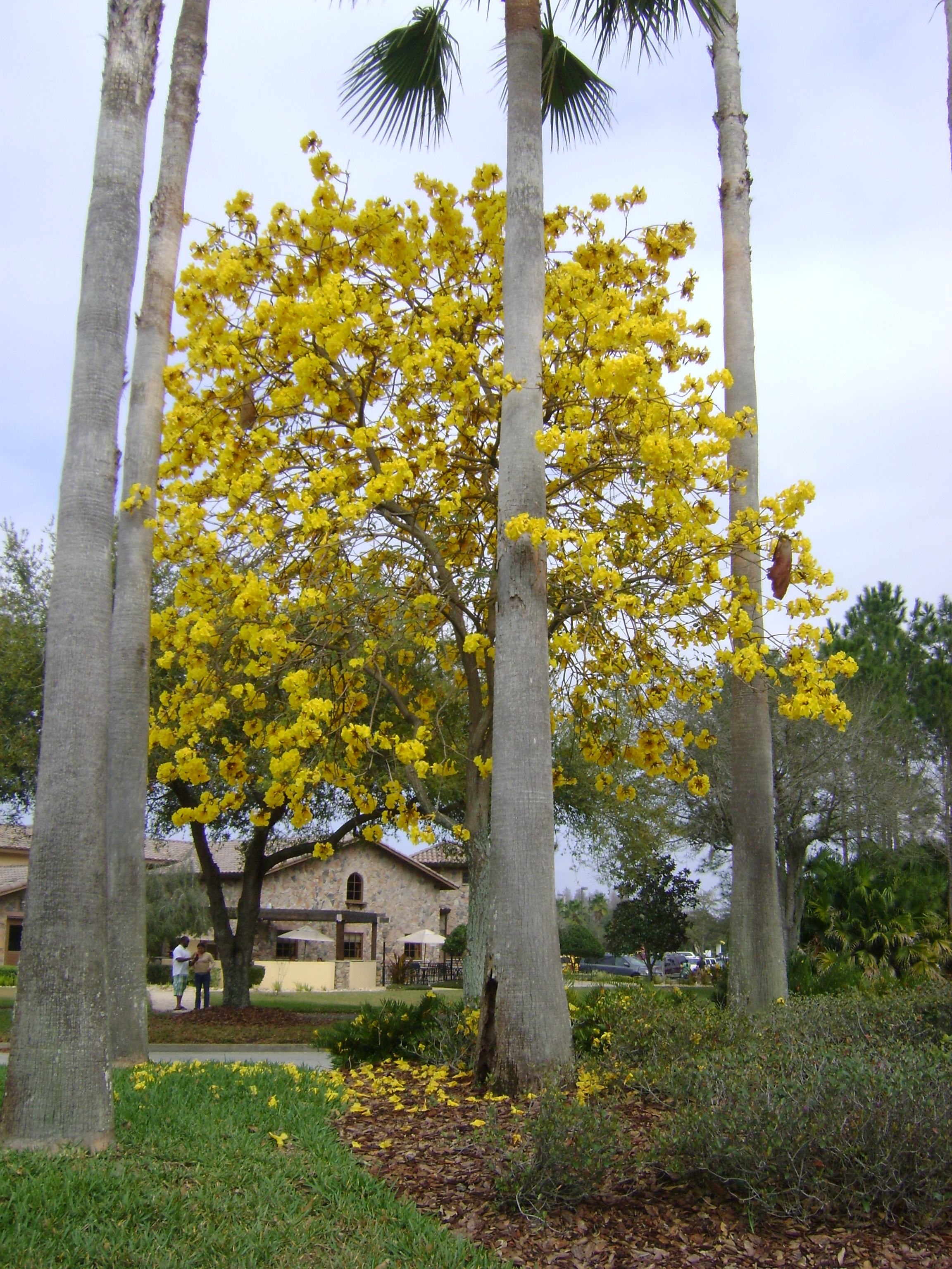 Buy tabebuia flowering trees for sale in orlando kissimmee yellow tabebuia mightylinksfo