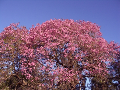 Pink Tabebuia Orlando Plants And Trees