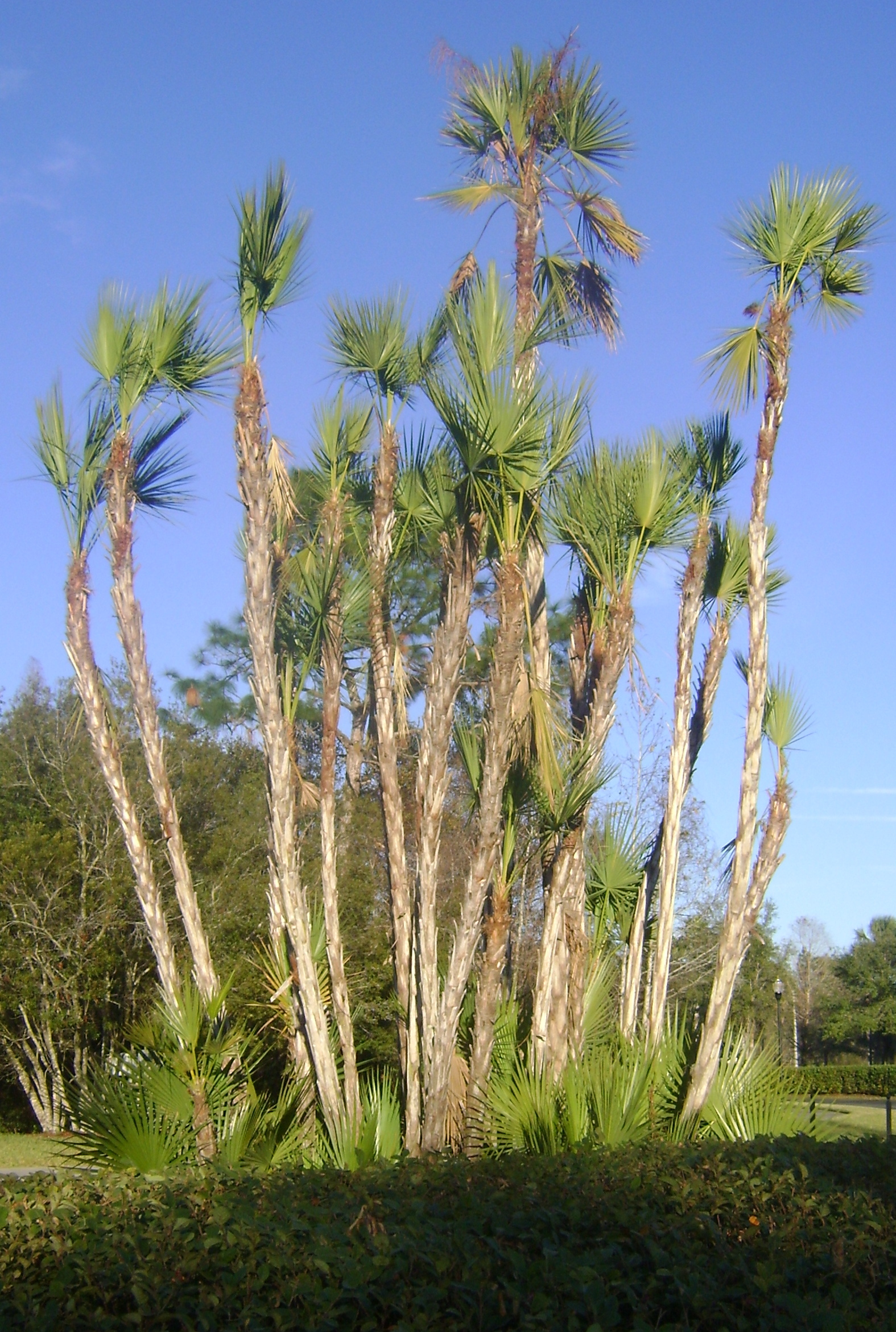 Buy Paurotis Palms, For Sale in Orlando, Kissimmee