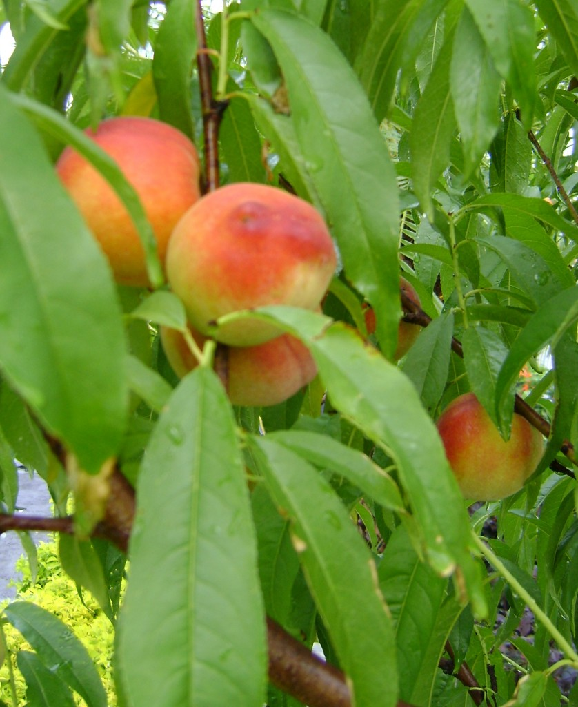Florida Peaches