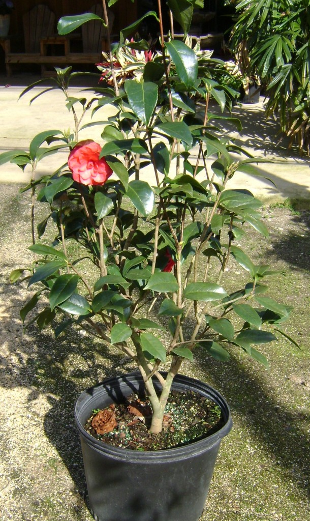 Buy Camellia In Orlando Florida Lake Mary Kissimmee