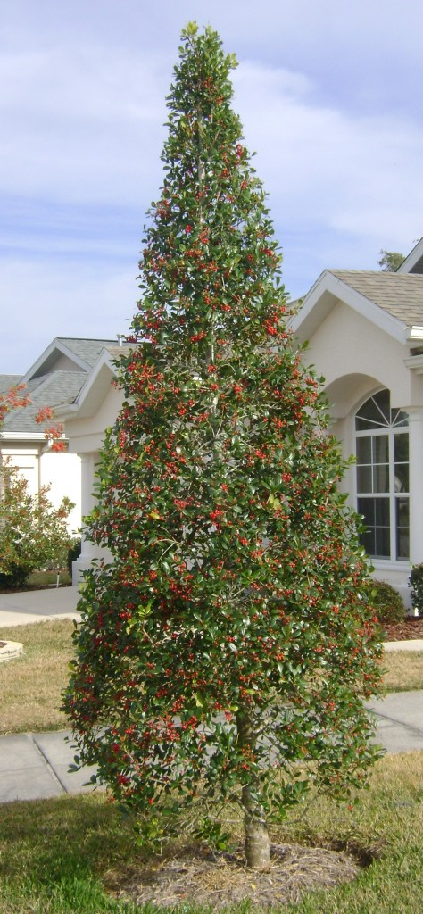 East Palatka Holly