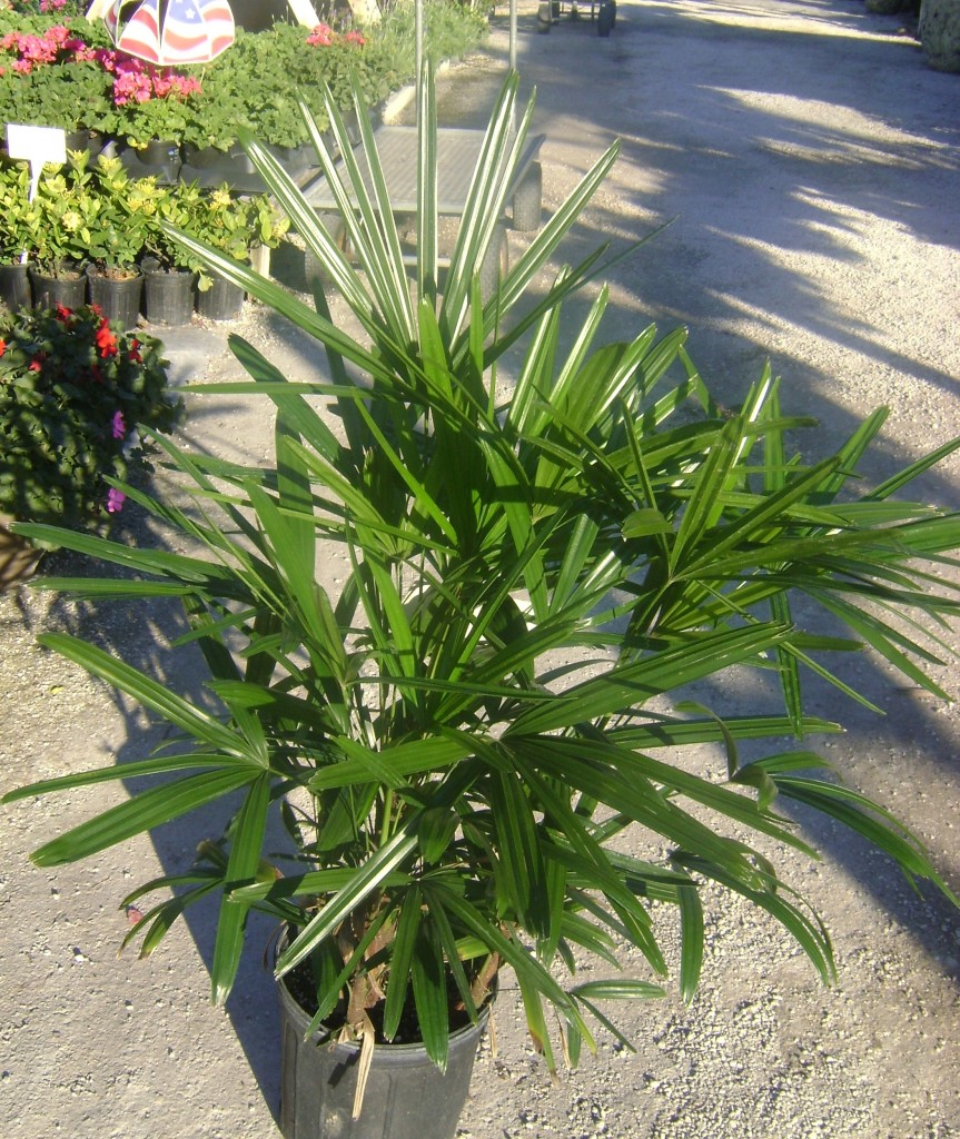 buy lady palm tree for sale in orlando kissimmee