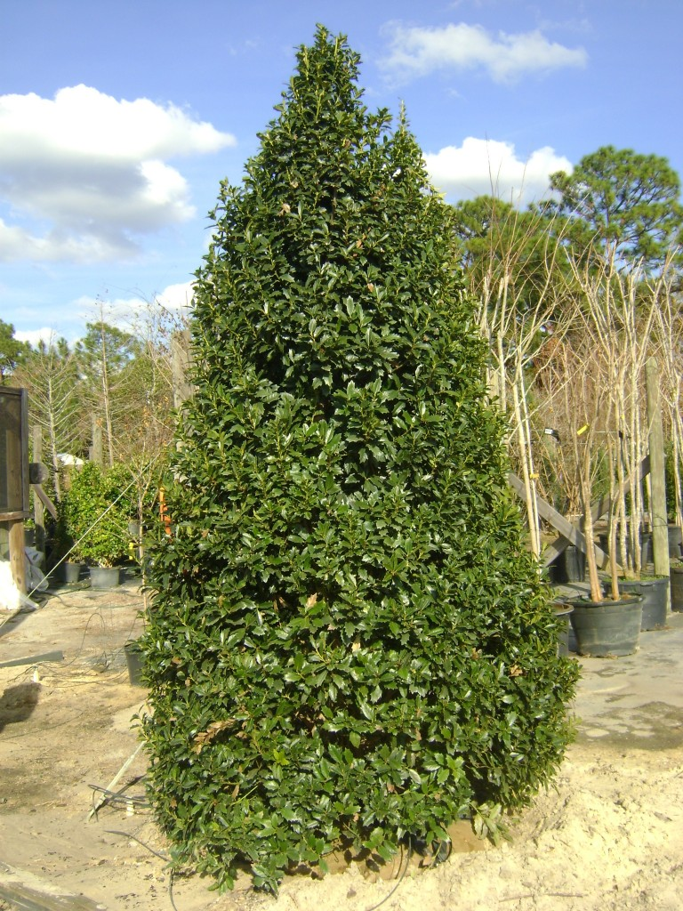Buy Oak Leaf Holly For Sale In Orlando Kissimmee