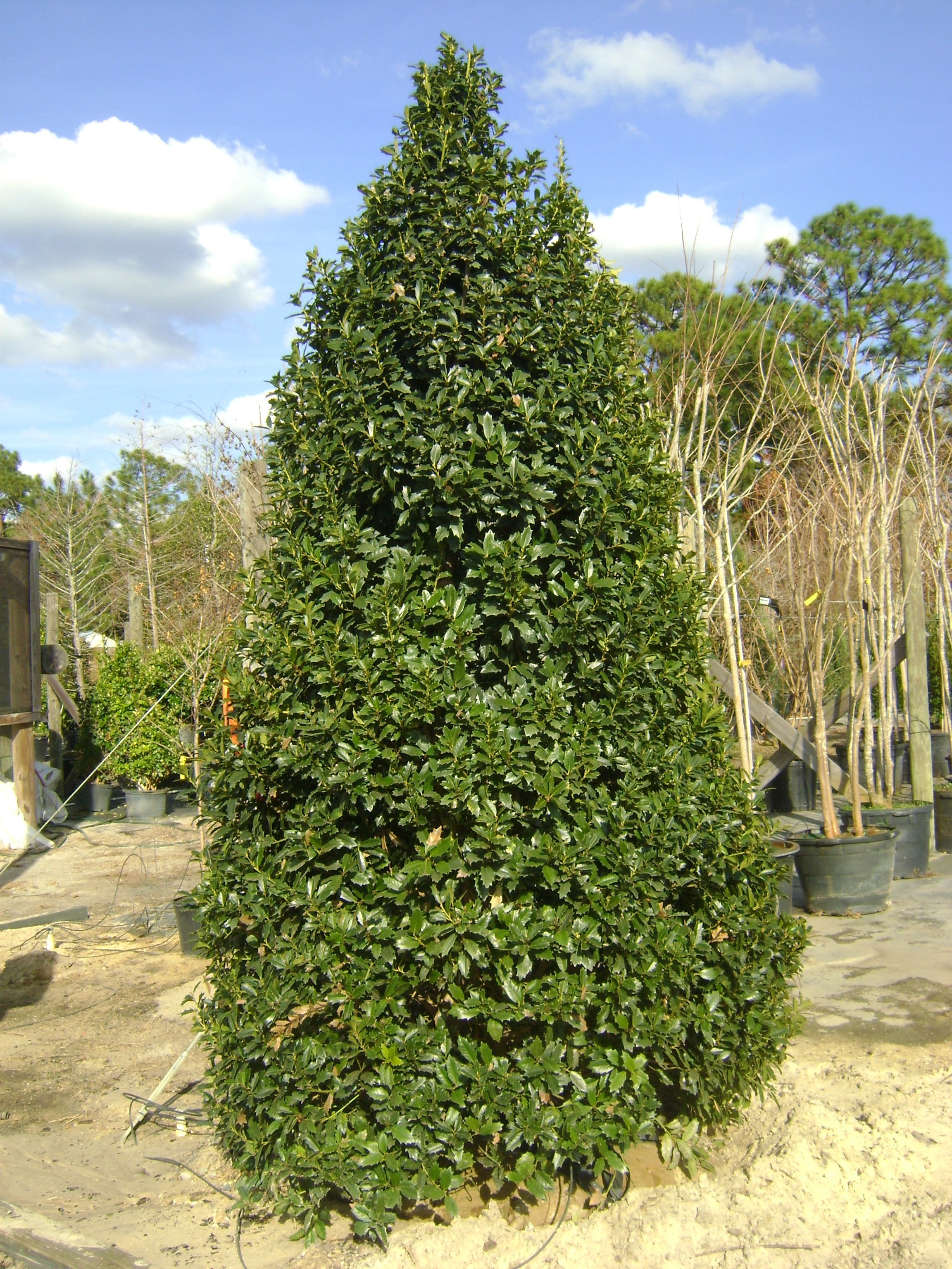 Oak Leaf Holly Orlando Plants And Trees