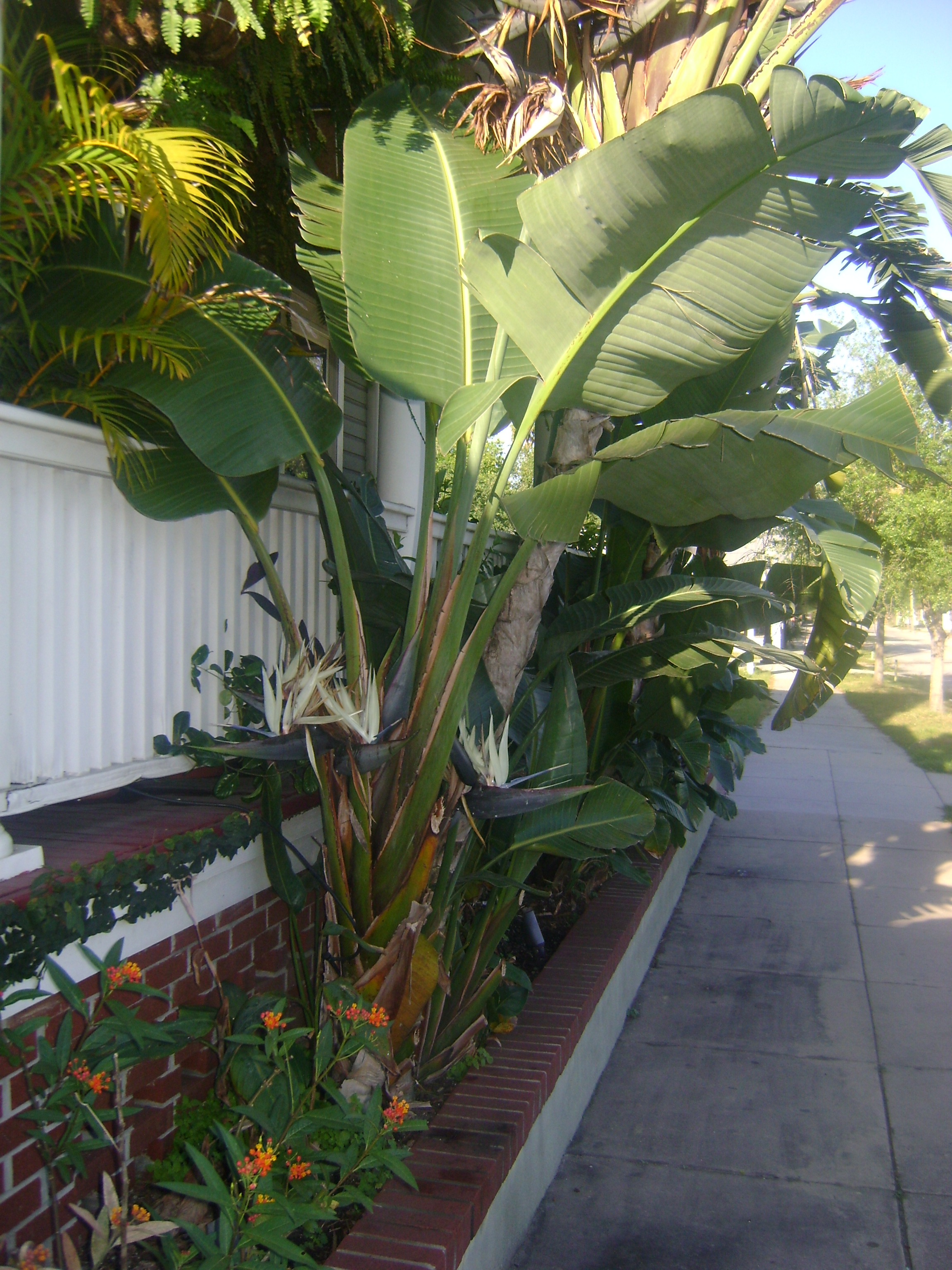 Buy Giant Bird Of Paradise In Orlando Florida Lake Mary Kissimmee
