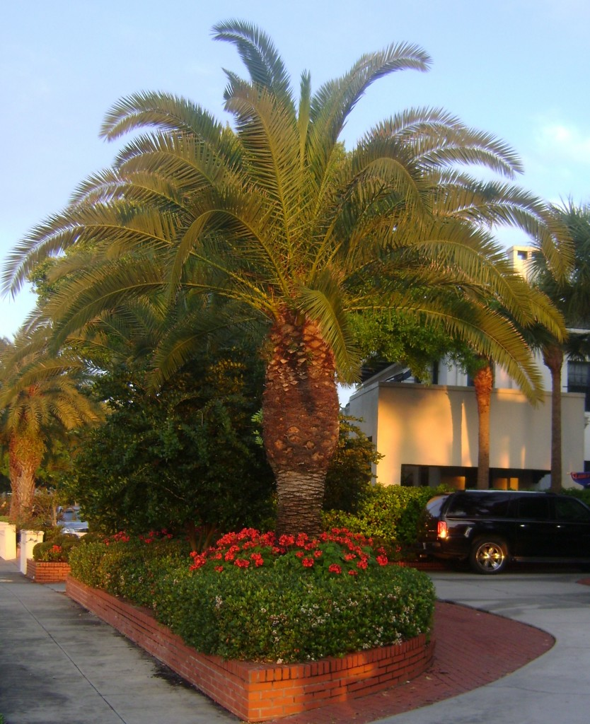 Canary Island Date Palm For Sale Florida