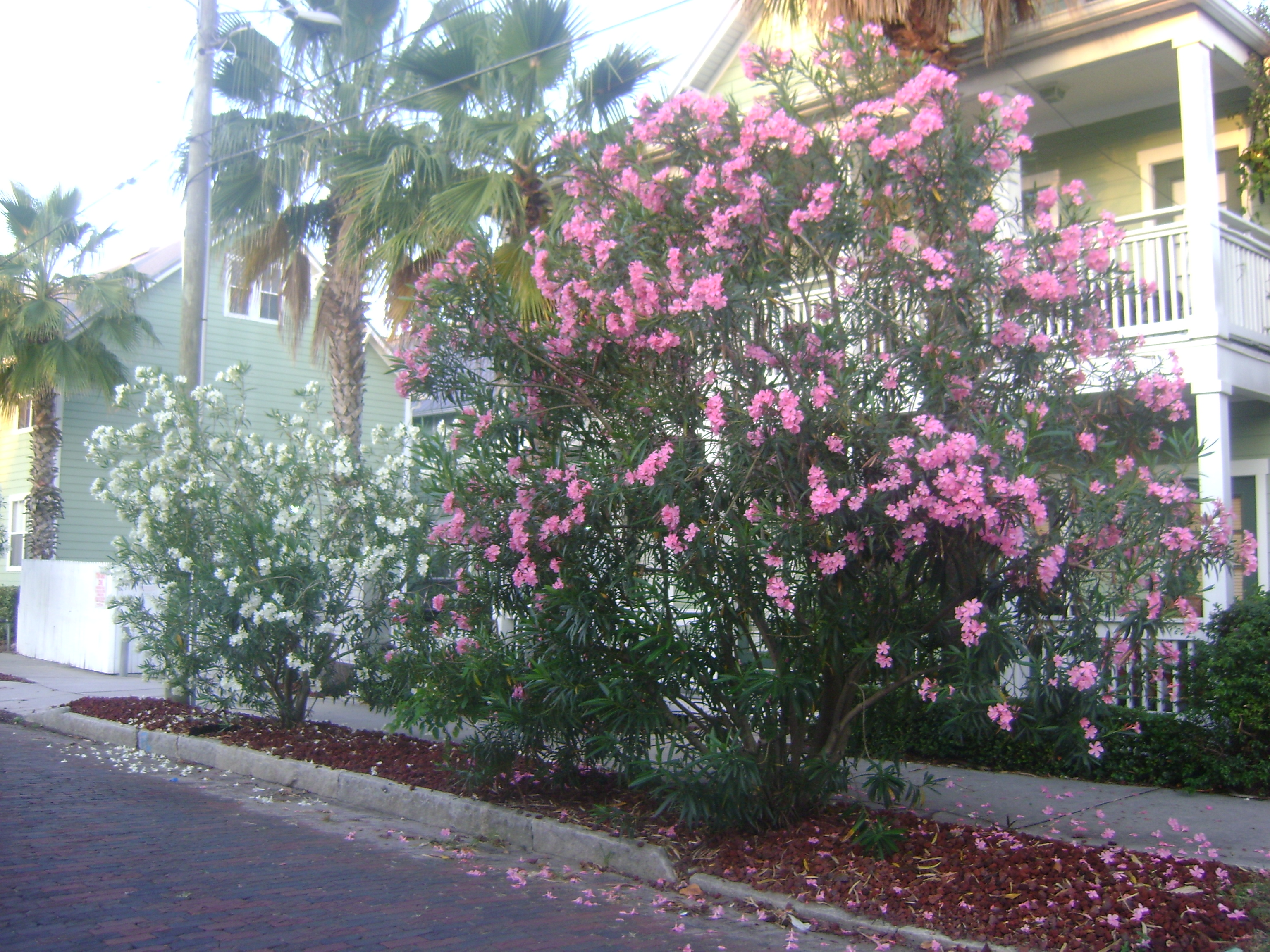 Oleander Orlando Plants And Trees