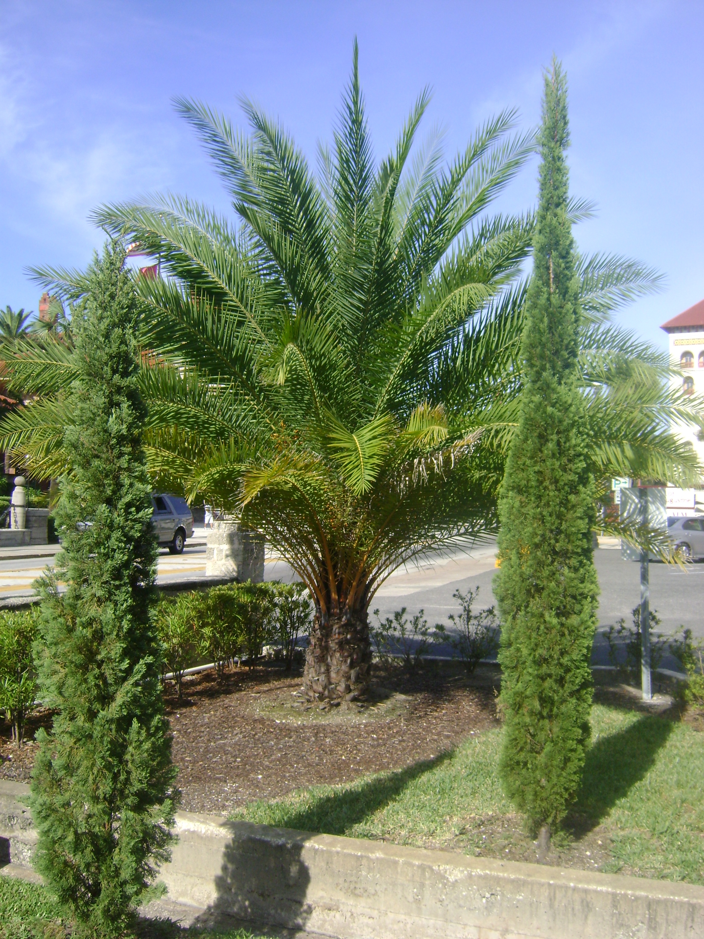 Italian Cypress Trees For Sale Find A Nursery To Buy One