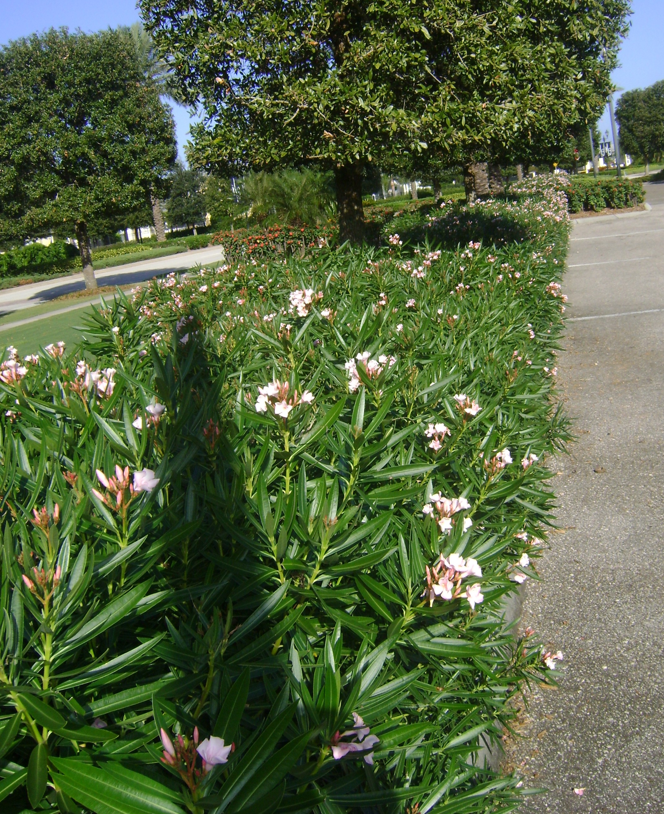 Dwarf Oleander Orlando Plants And Trees
