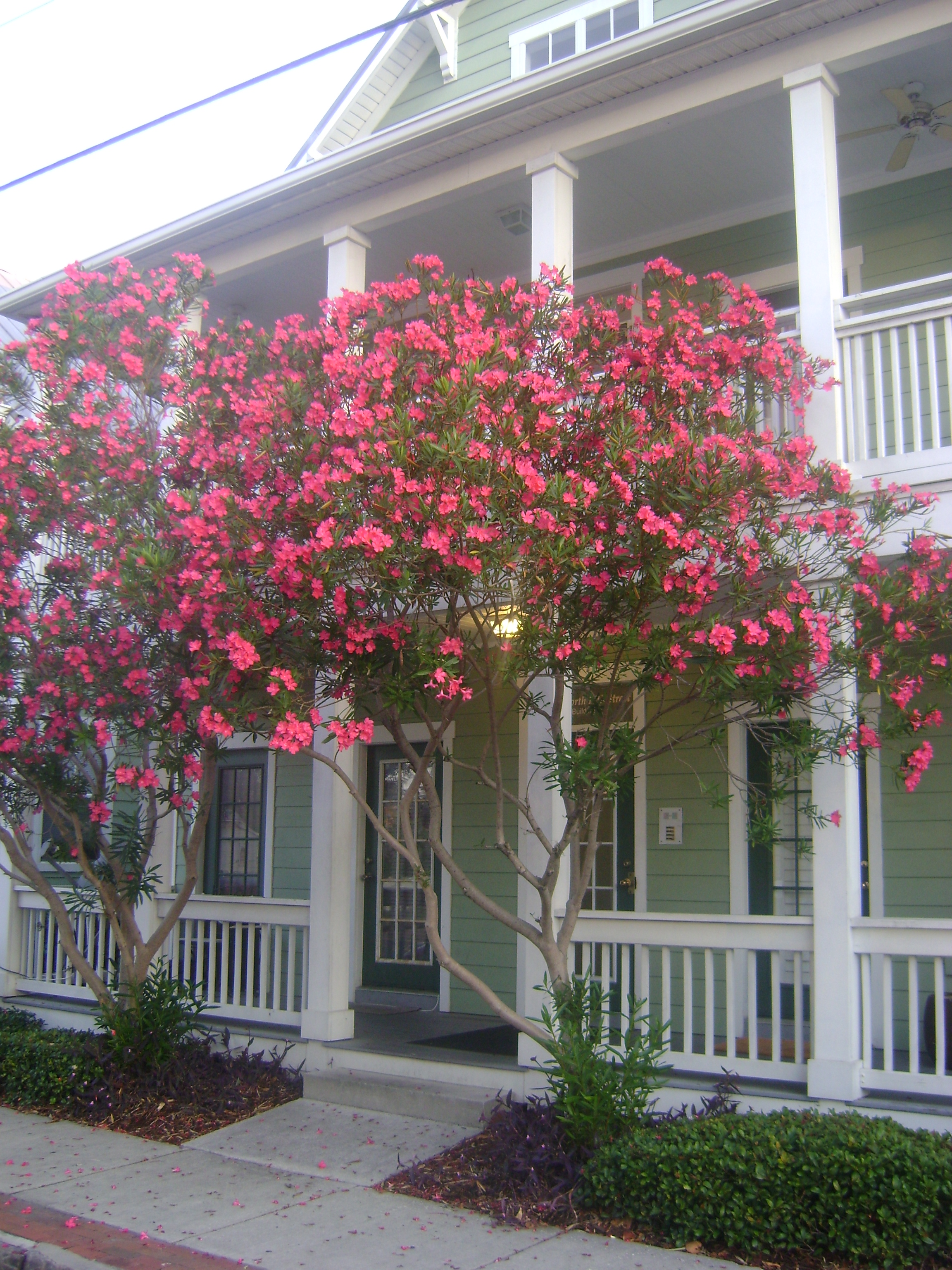 Buy Oleander For Sale In Orlando Sanford Kissimmee