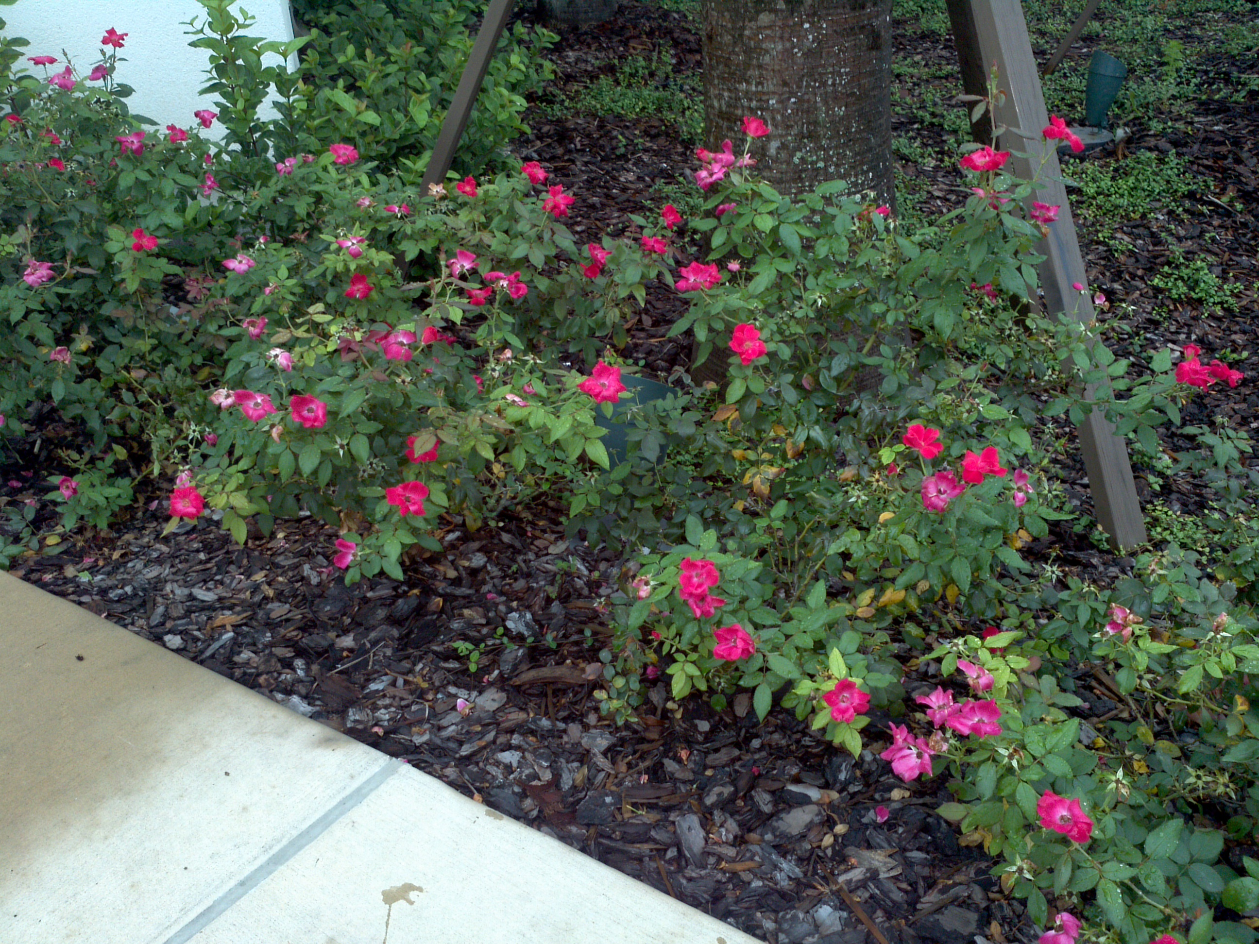 Red Drift Rose Orlando Plants And Trees