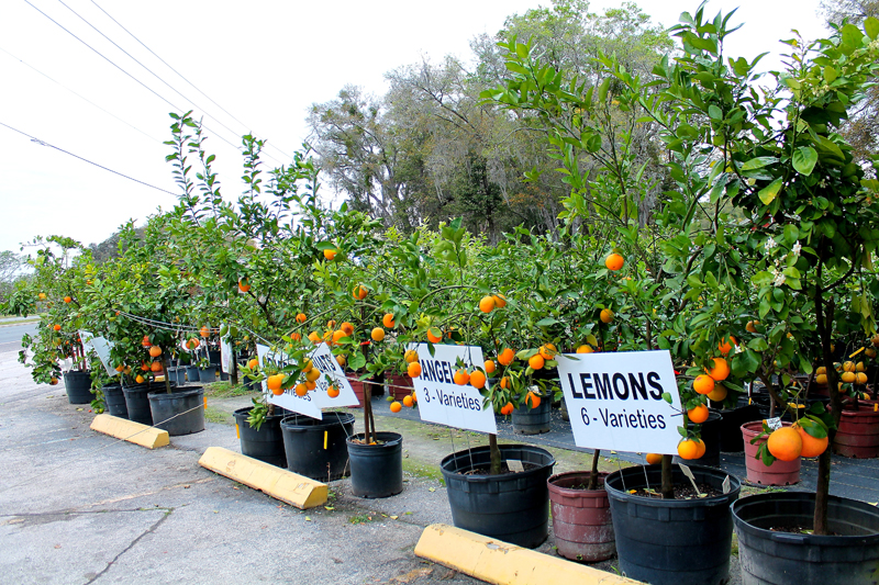 Pokey S Lake Gem Citrus Nursery In Orlando
