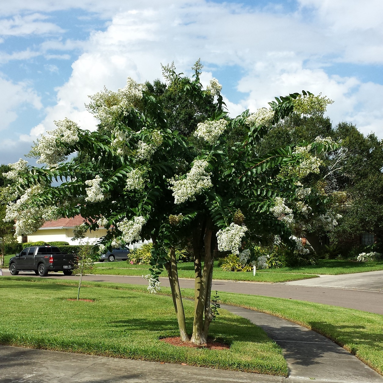 Buy Crepe Myrtle Trees For Sale In Orlando Kissimmee