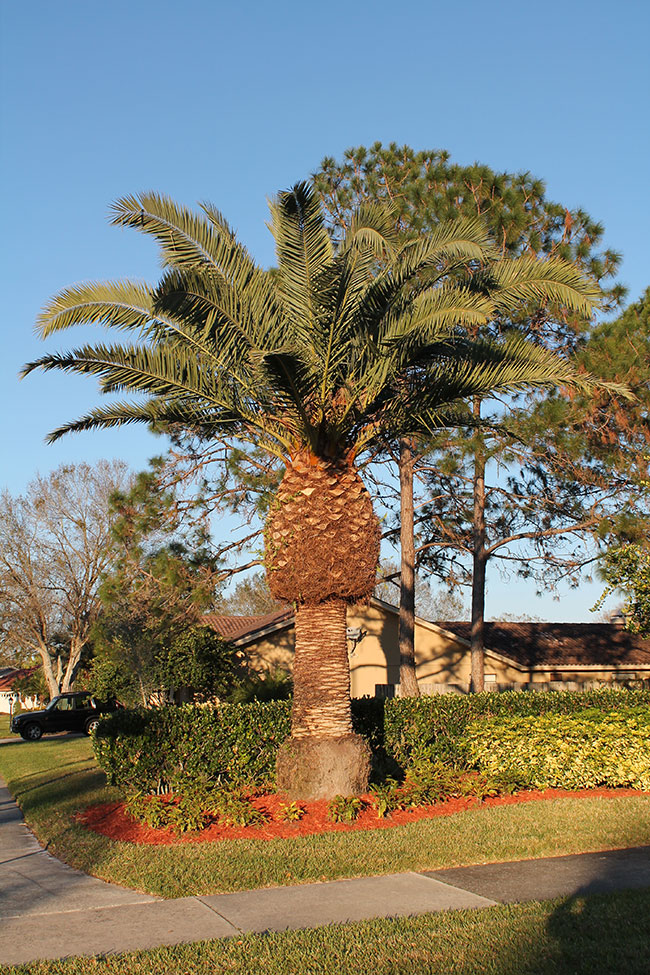 Canary Island date palm, Phoenix canariensis (Arecales: Arecaceae ...